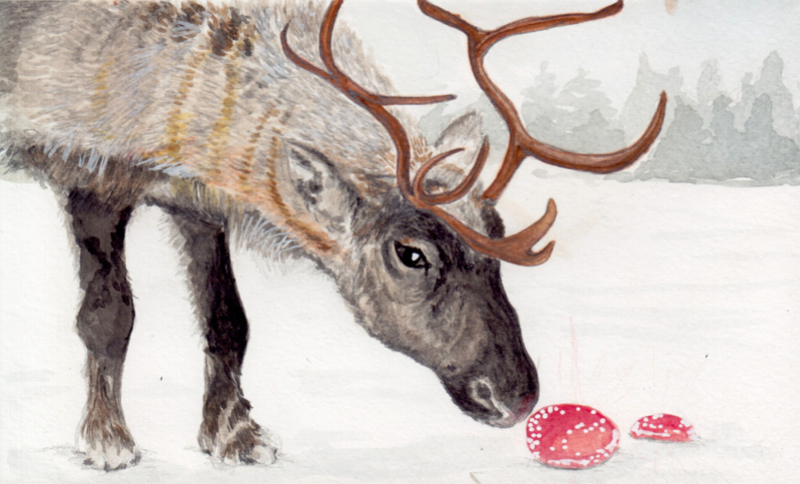 Reindeer checking out an Anamita Muscaria mushroom